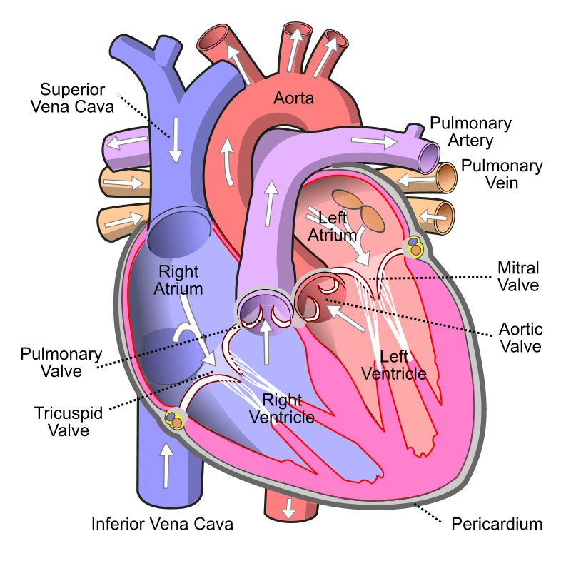 Human Heart with Blood Flow SimpleMed