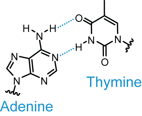 Adenine and Thymine Base Pairing SimpleMed