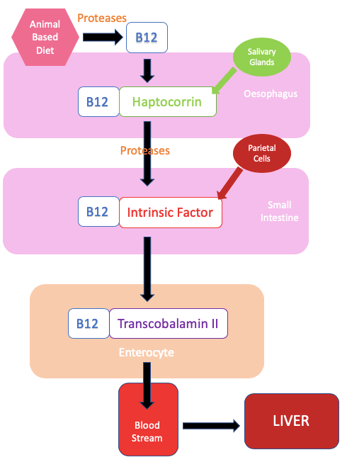 Absorption of Vitamin B12 Diagram SimpleMed