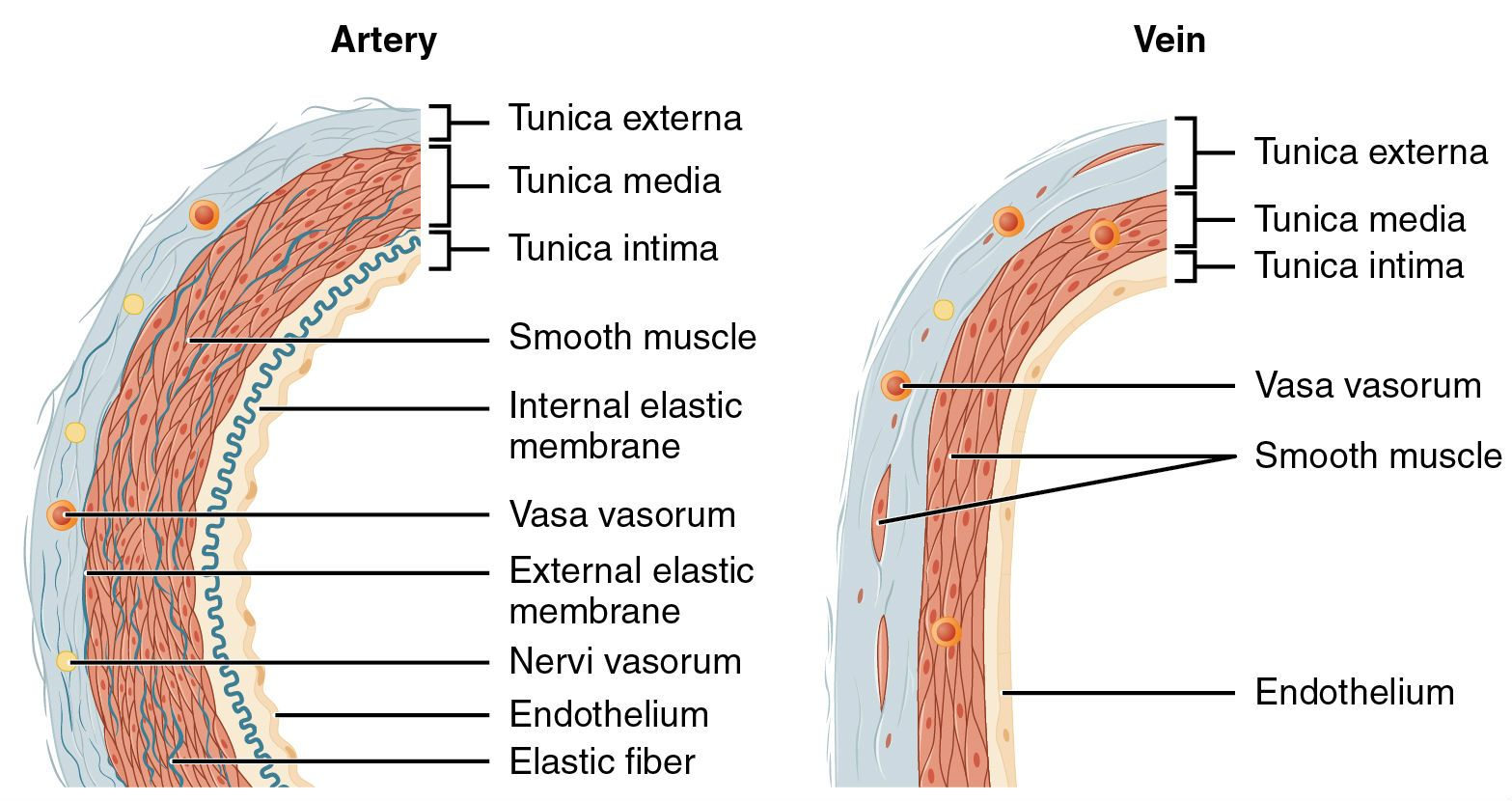 Artery and Vein vessel wall structure SimpleMed
