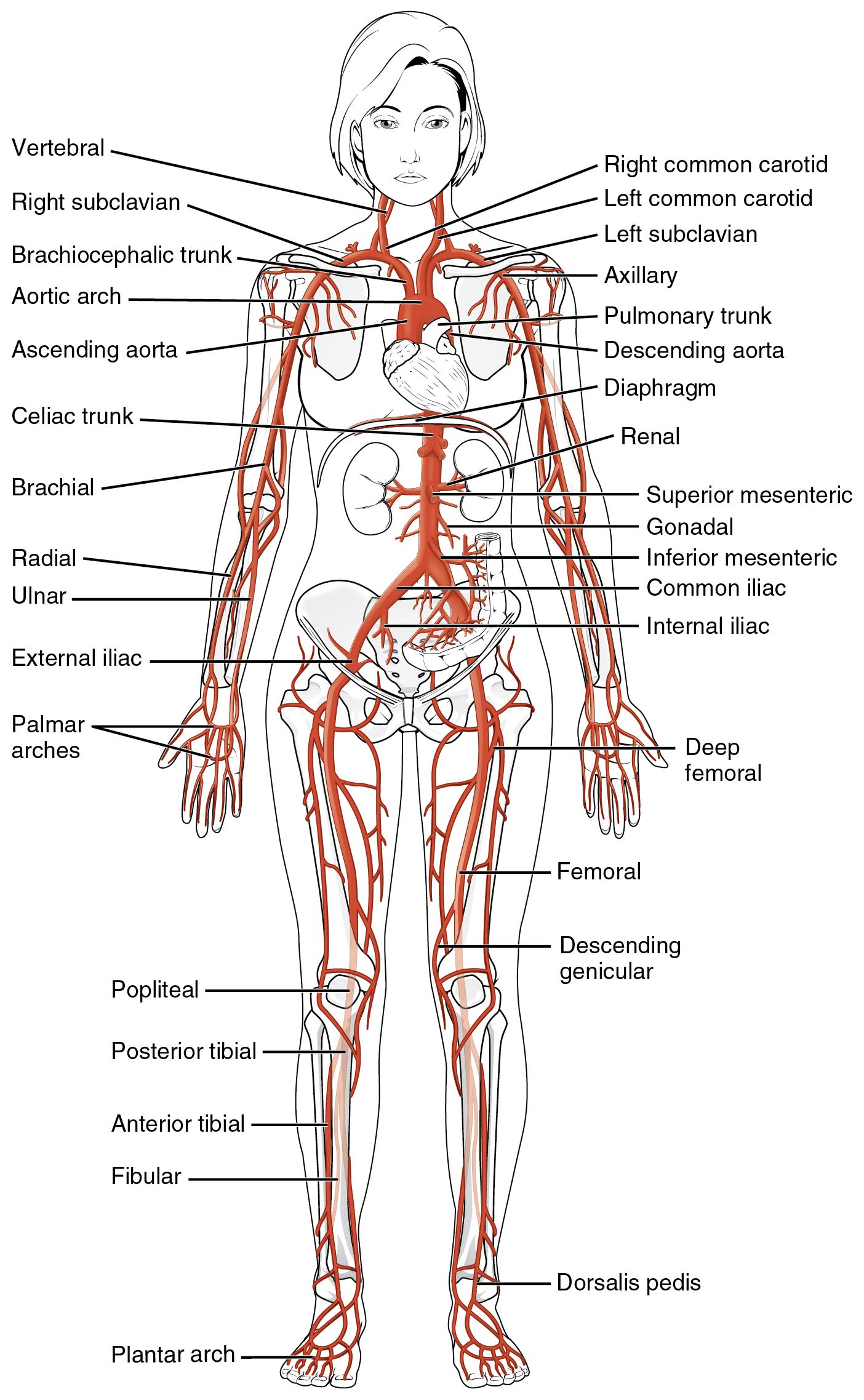 Major Systemic Arteries of the body SimpleMed