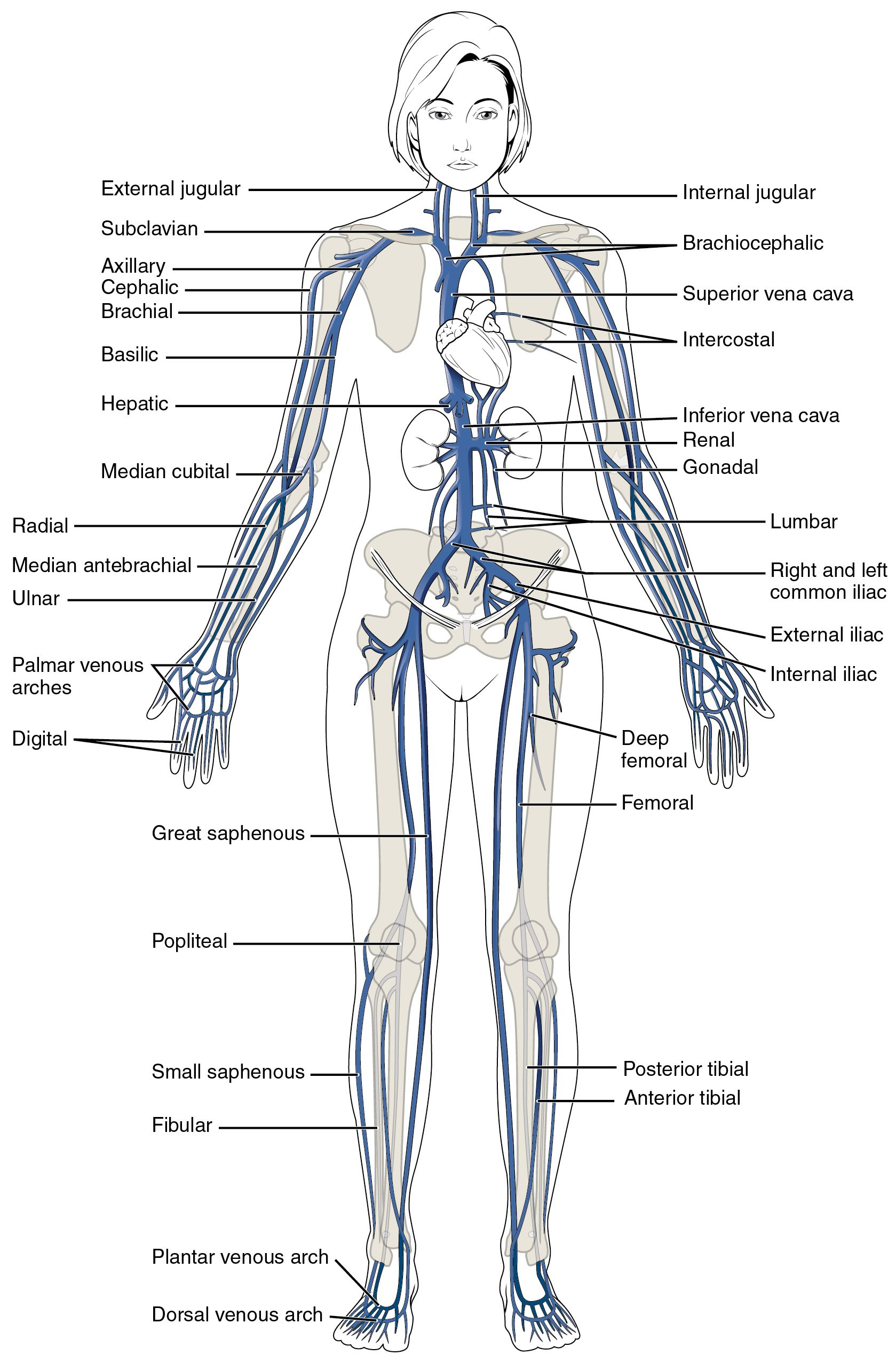 Major Systemic Veins of the body SimpleMed