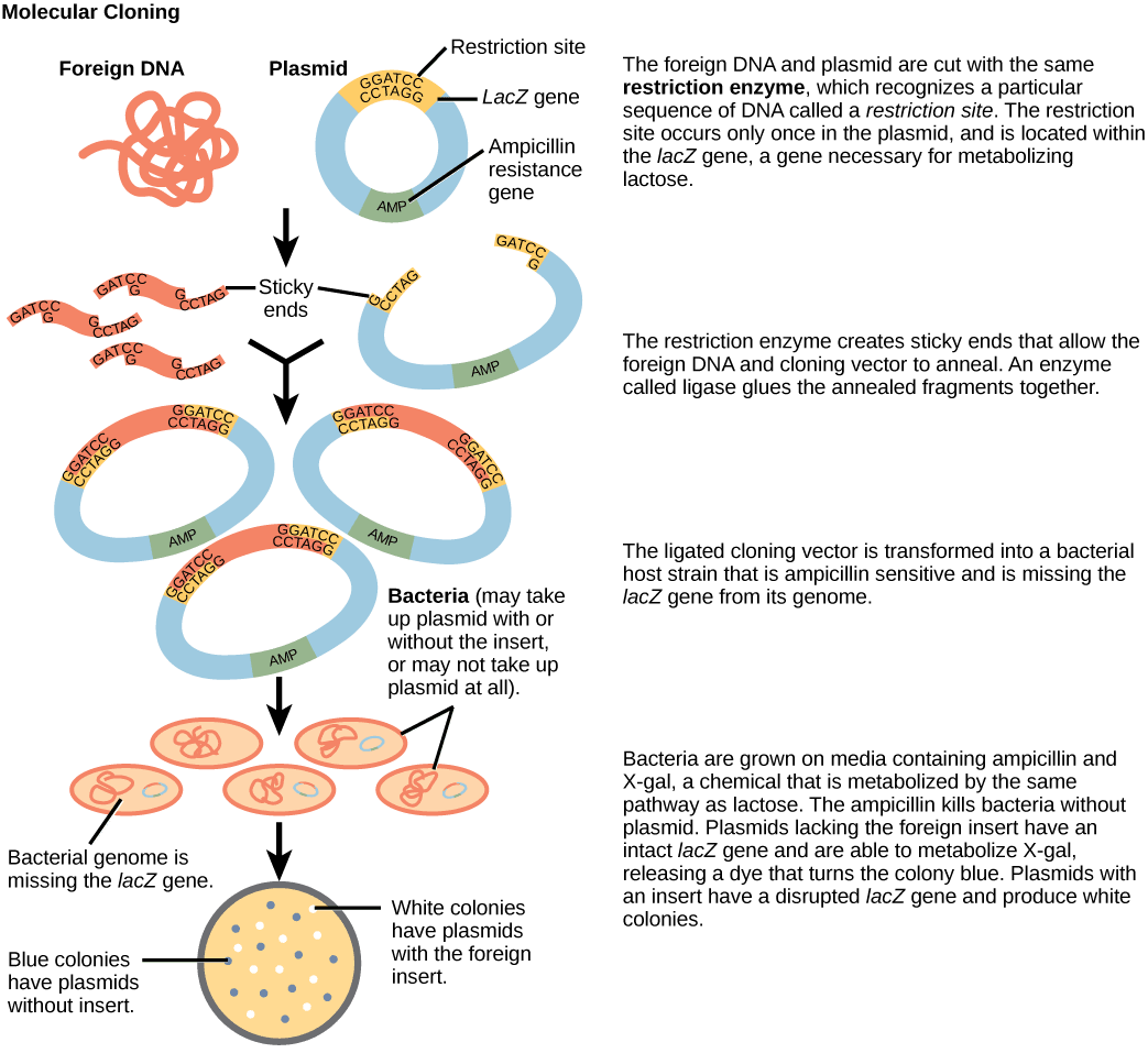 Restriction Enzymes and Cloning SimpleMed