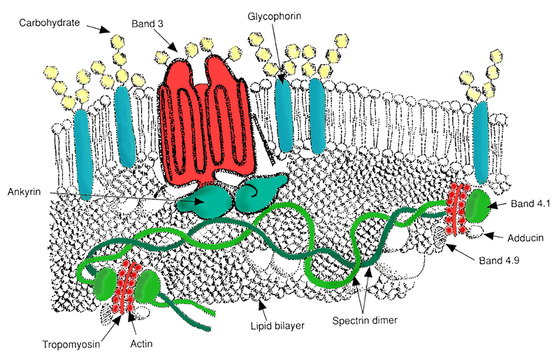 Red Blood Cell Major Membrane Proteins SimpleMed