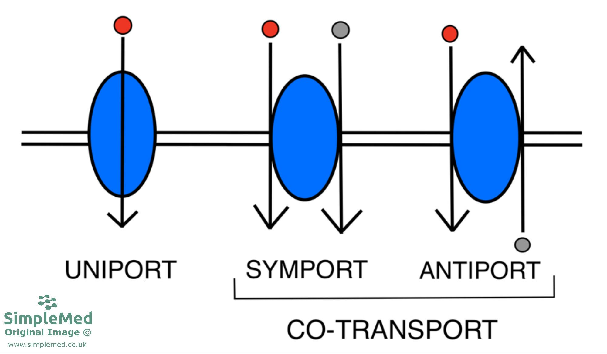 Type of Transporters Across The Cell Membrane SimpleMed