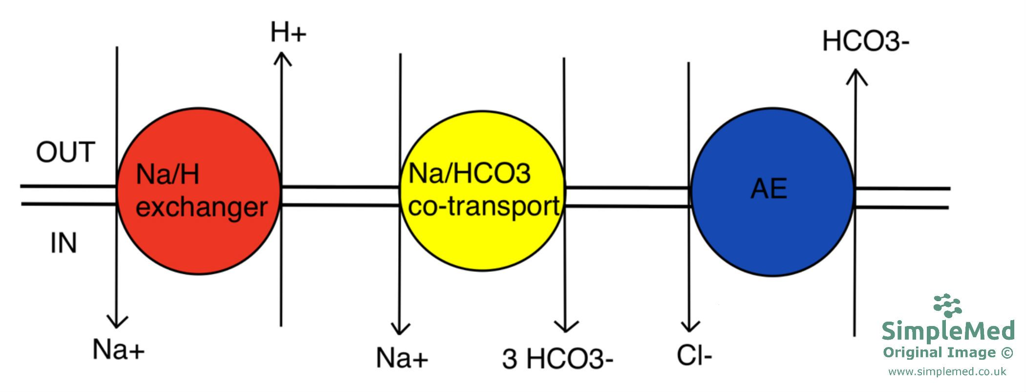 Transporters Involved in Cellular pH Regulation SimpleMed