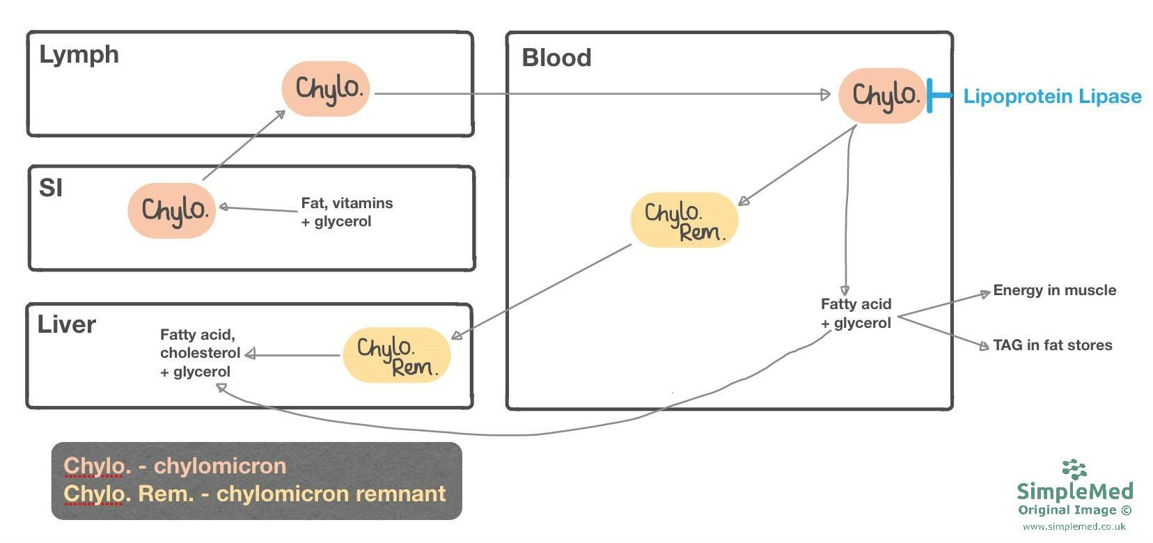 Chylomicron Metabolism SimpleMed