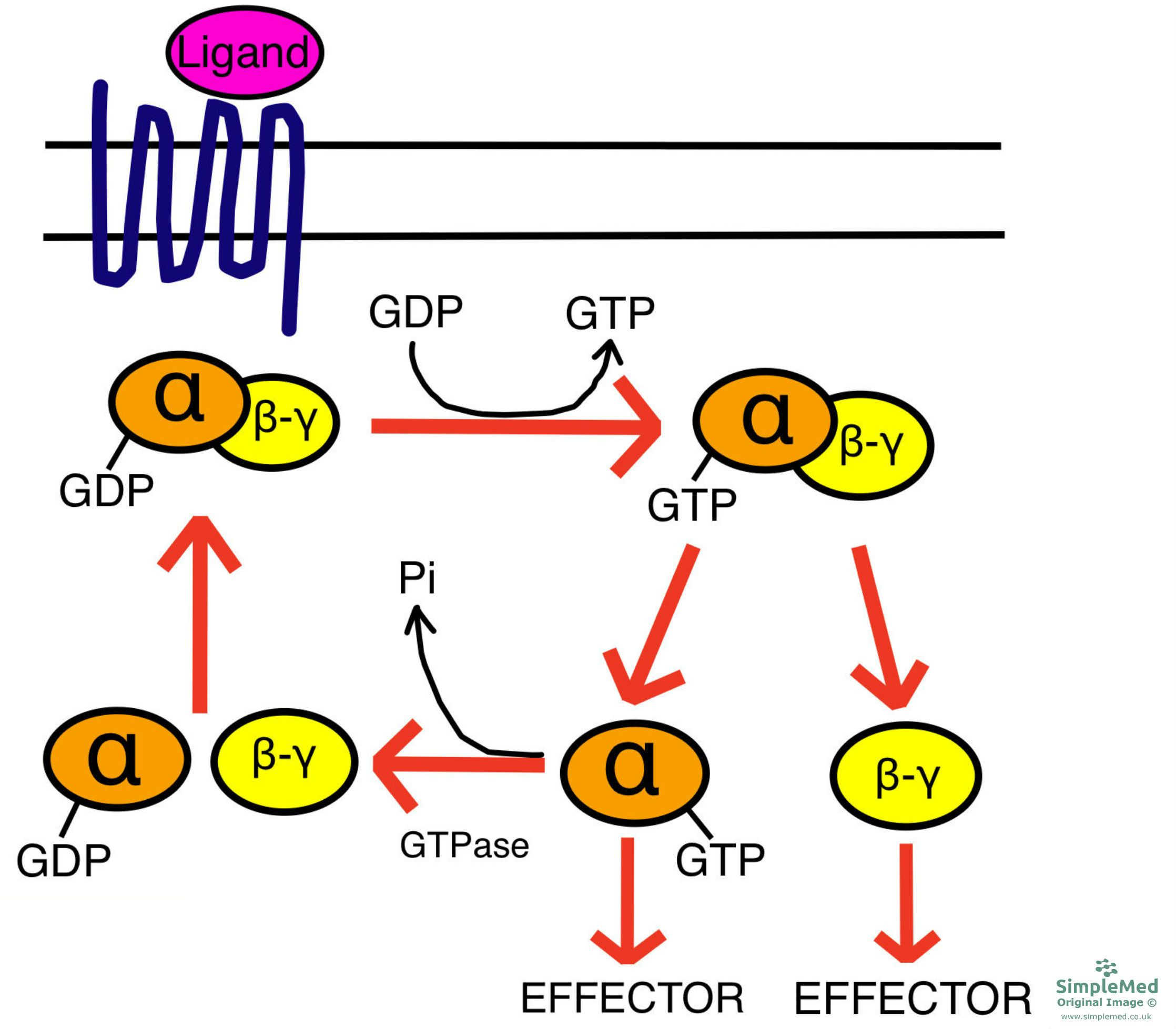 GPCR Activation SimpleMed