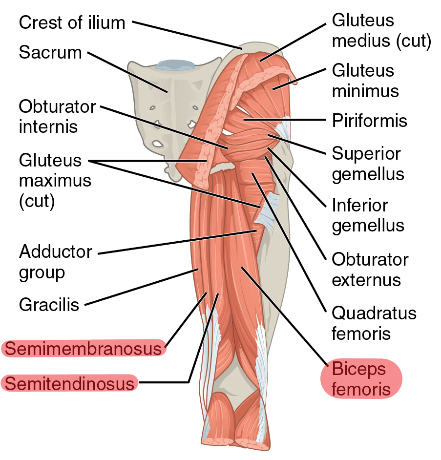 Hamstring Muscles SimpleMed