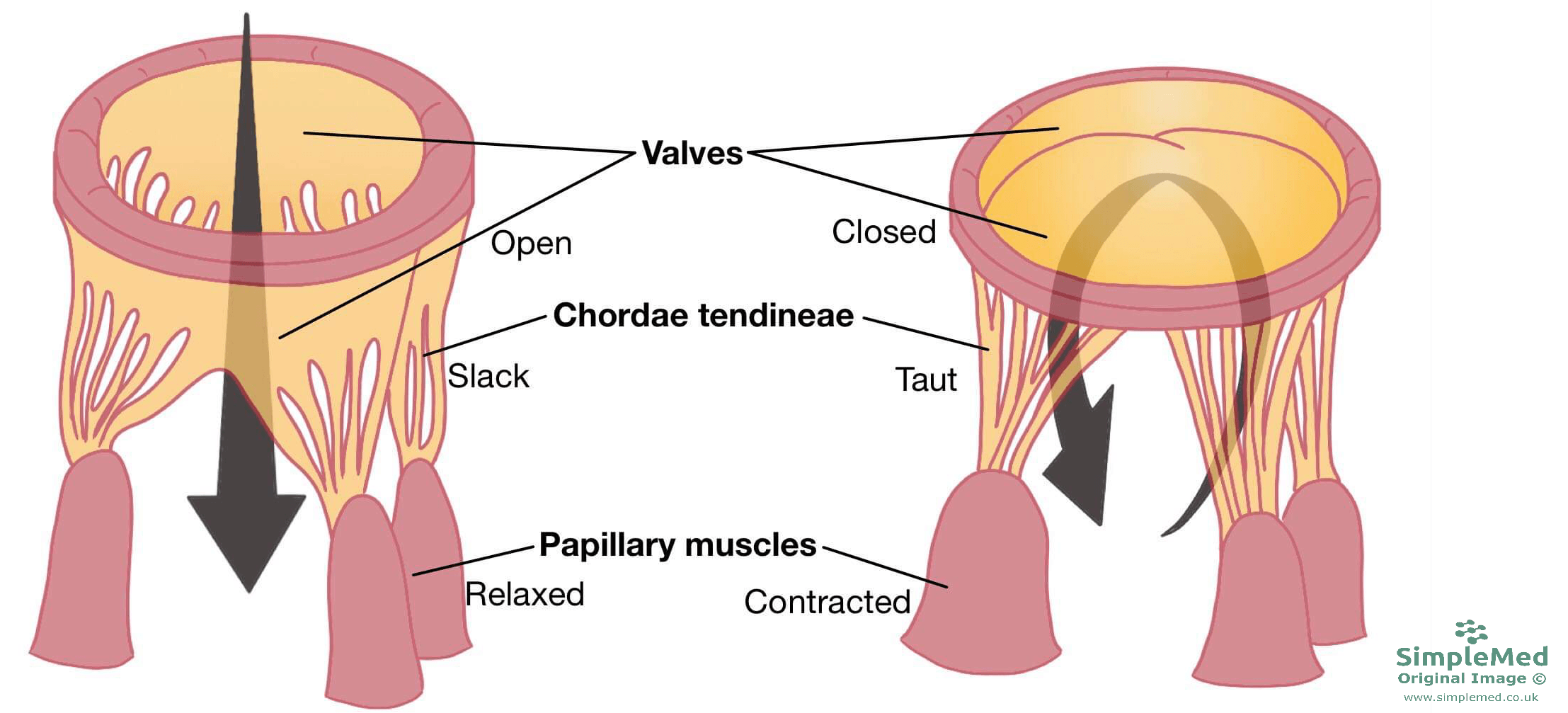 Valves of the Heart and chordae tendineae SimpleMed