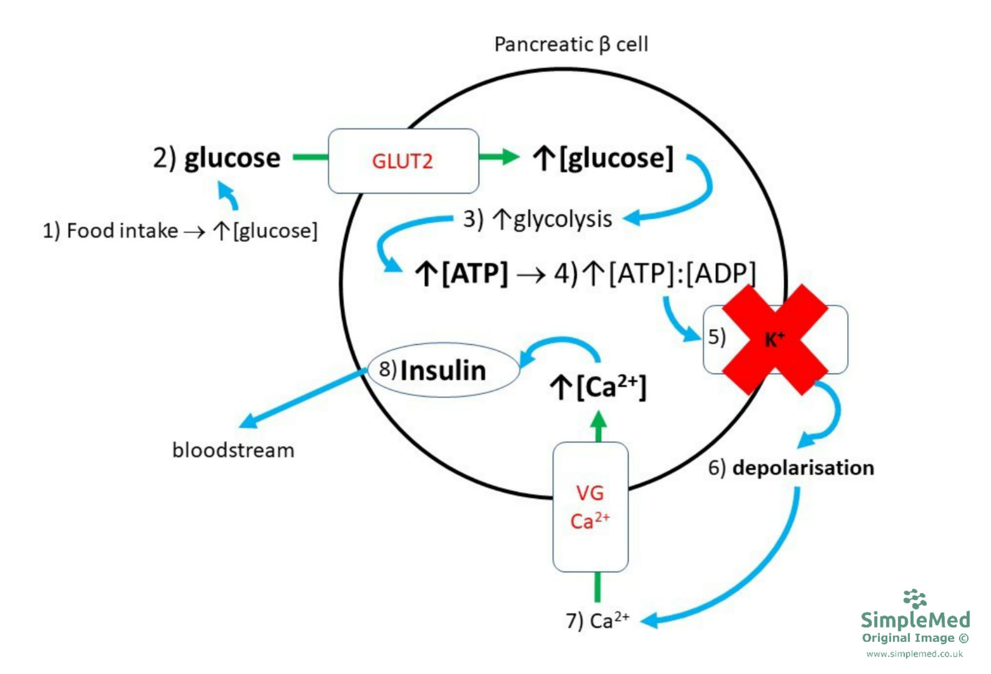 Insulin Release Diagram SimpleMed