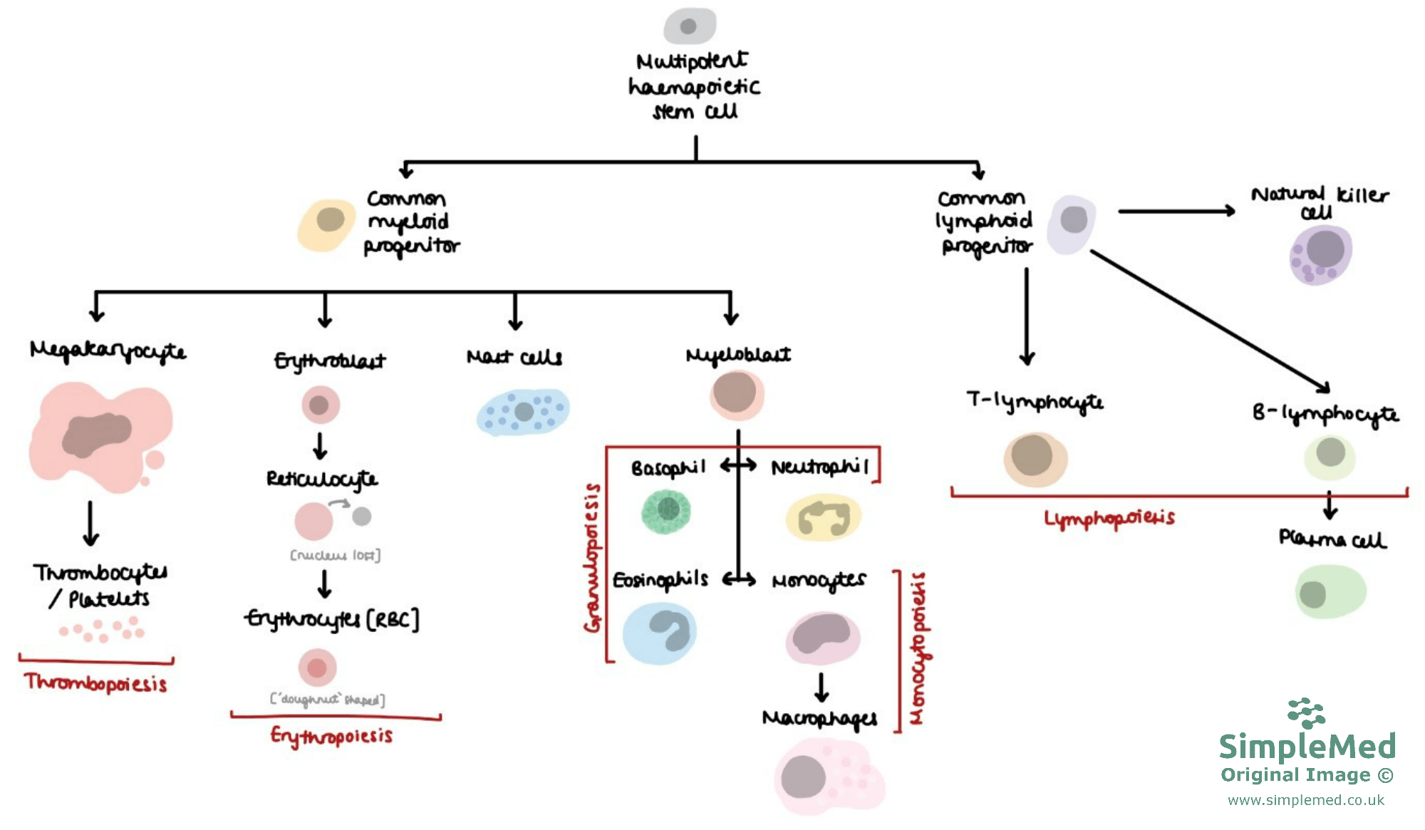 Multipotent Stem Cell Lineage and Progenitors SimpleMed
