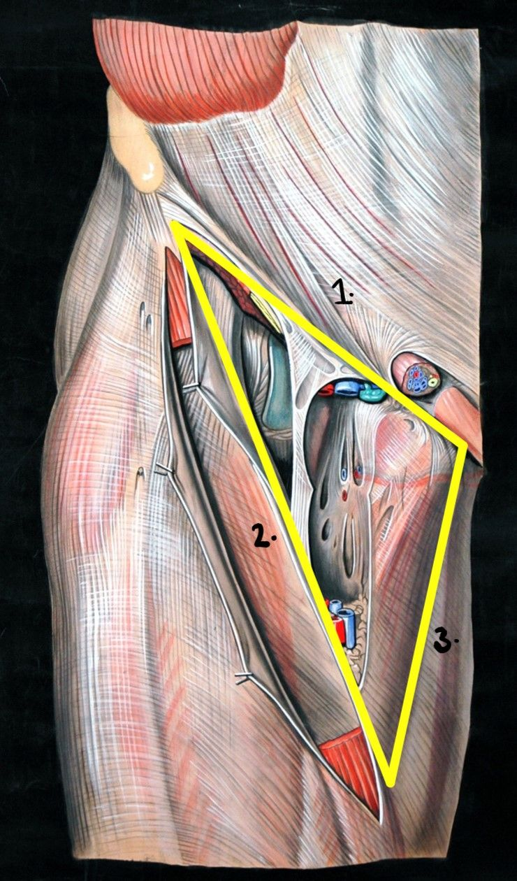 The Femoral Triangle SimpleMed