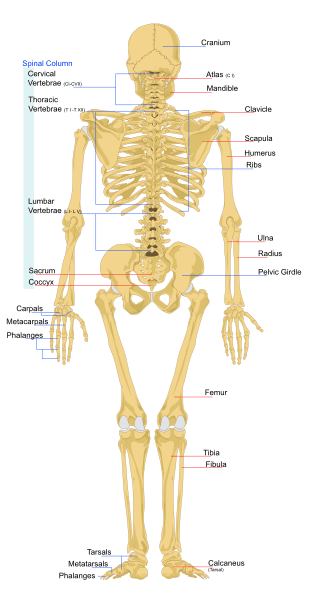 Human Skeleton with major bones labelled from behind SimpleMed