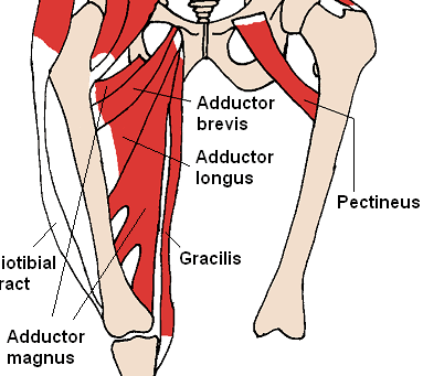 Medial Thigh Muscles SimpleMed