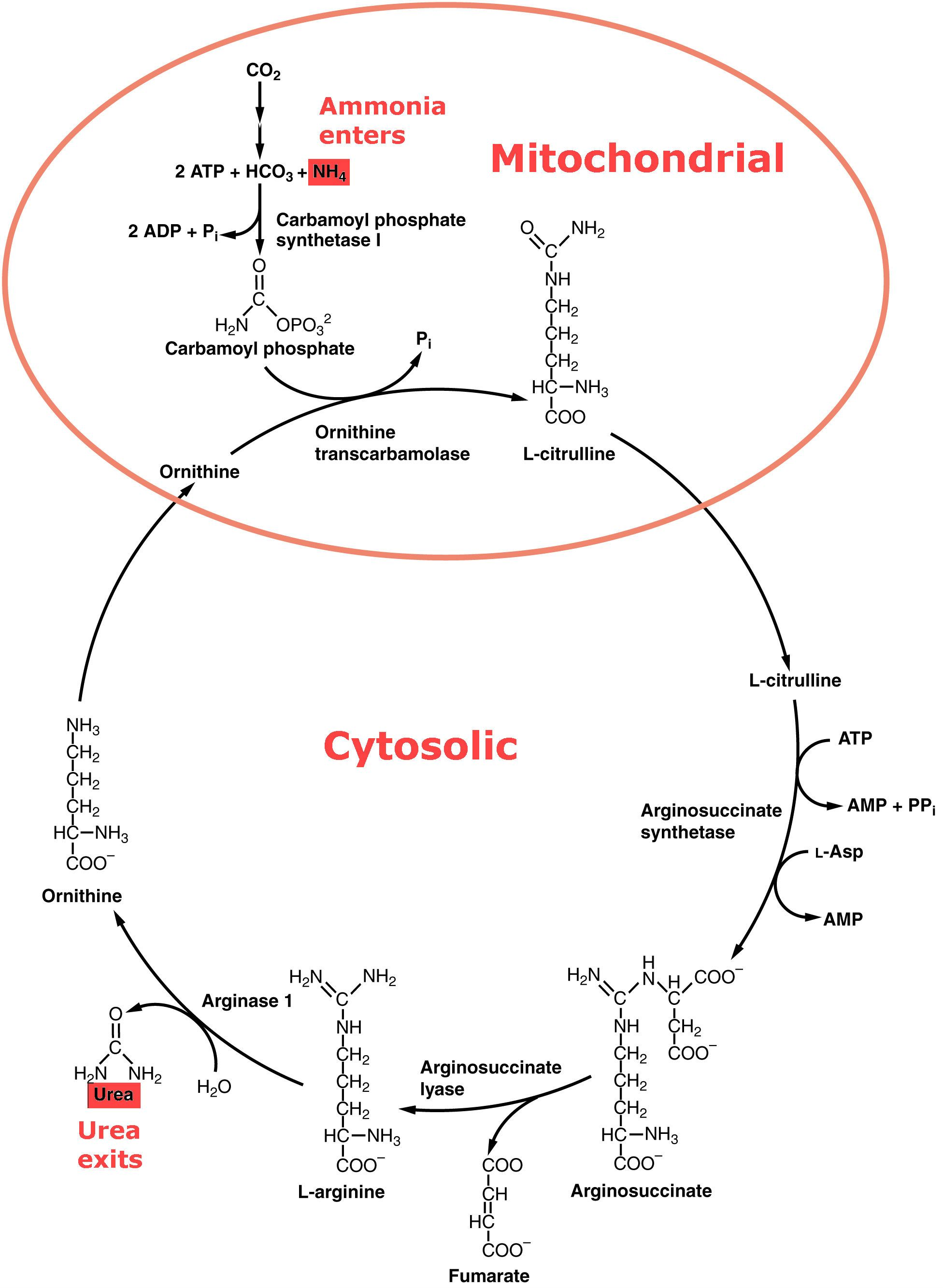 Urea Cycle SimpleMed