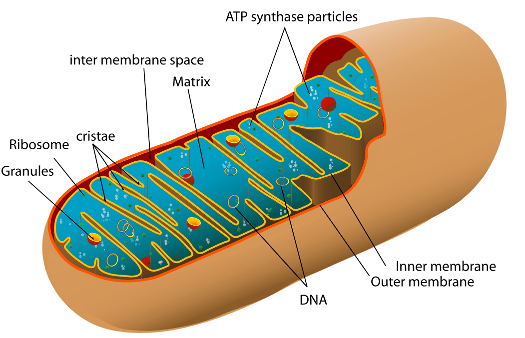 Mitochondria Structure SimpleMed