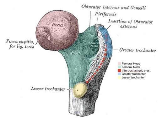 Posterior Femur Labelled Diagram SimpleMed