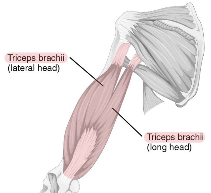 Posterior Muscles of the Upper Arm Labelled Diagram SimpleMed