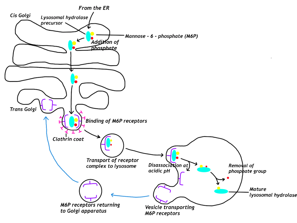 Protein Targeted for Lysosomes Diagram SimpleMed