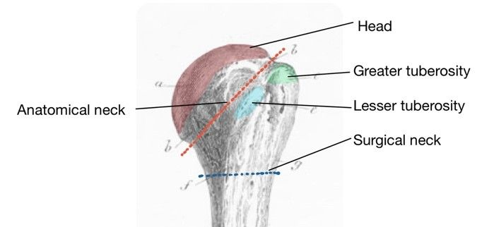 Posterior Humerus Labelled Diagram SimpleMed