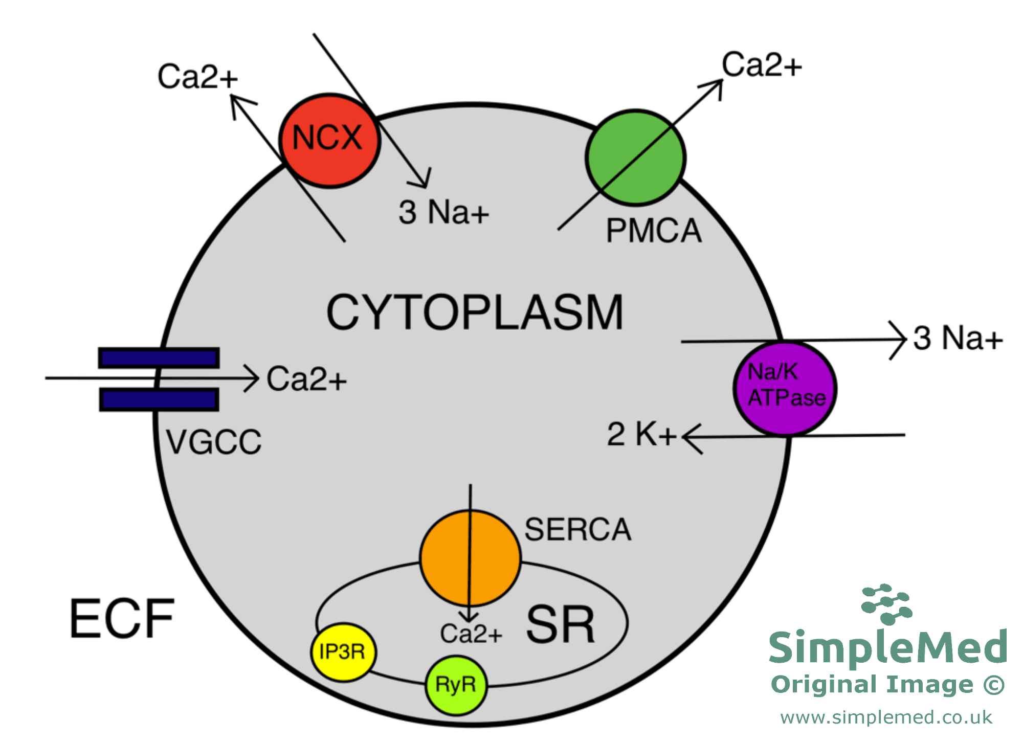 Summary of the Cellular Calcium Ion Regulation SimpleMed