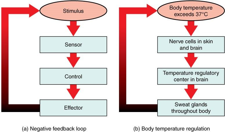 Temperature Negative Feedback Loop SimpleMed
