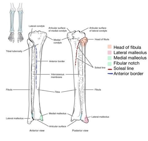 Tibia and Fibula Diagram Labelled SimpleMed