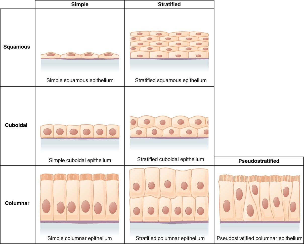 Types of Epithelium SimpleMed