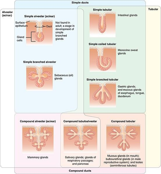 Types of Glands SimpleMed