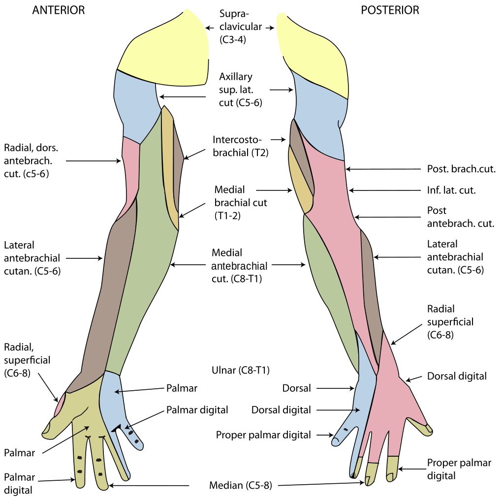 Upper Limb Cutaneous Innervation Diagram SimpleMed