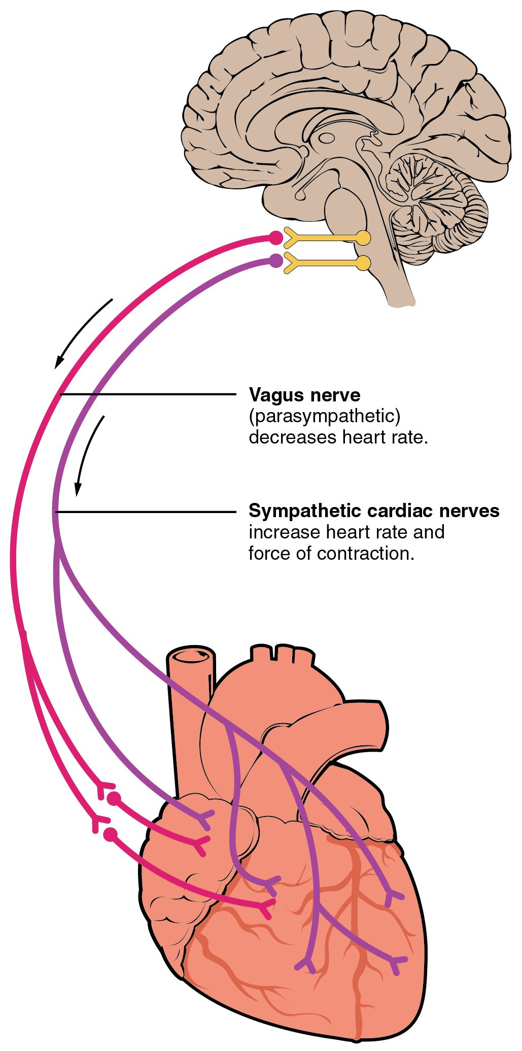Autonomic Innervation of the Heart SimpleMed