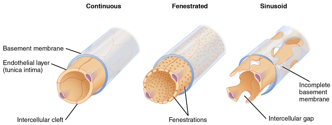 Types of capillary - continuous, fenestrated, sinusoid