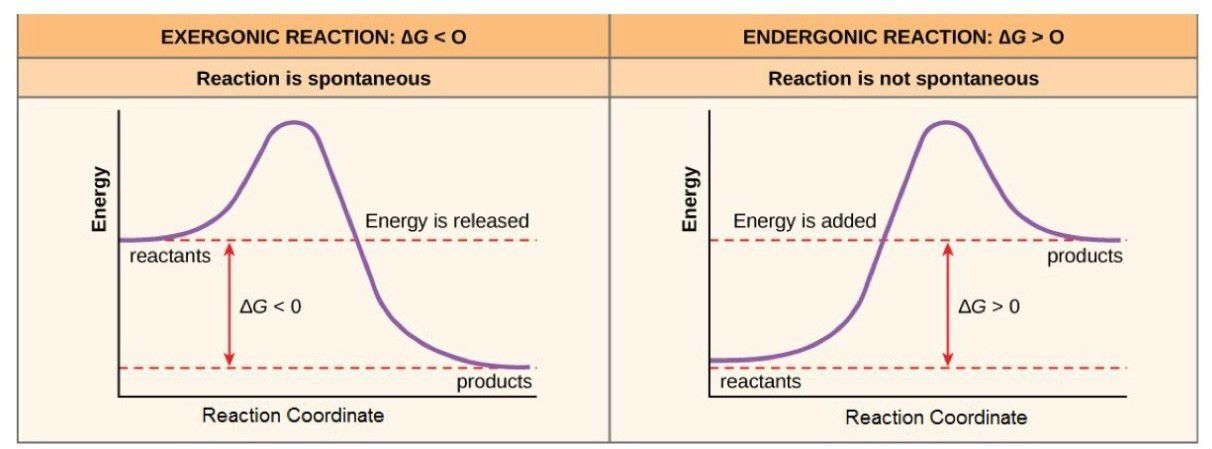 Exergonic and Endergonic Reactions SimpleMed