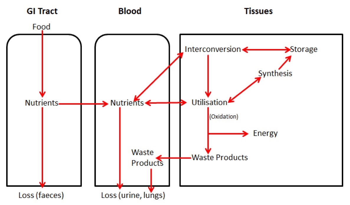 Summary of Metabolism Within the Body SimpleMed